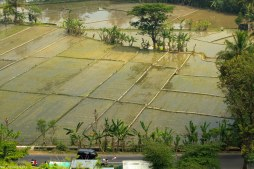 rice fields newly planted. taken from Ratu Boko's temple complex